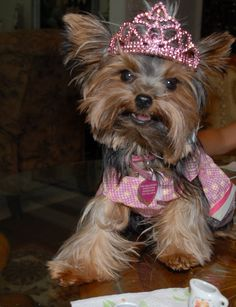 My little Yorkie princess at a tea party - Mia