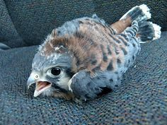 "American Kestrel in an awkward juvenile ""Angry Bird"" stage."