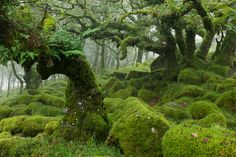 """Wistman's Wood is a remnant of an ancient forest near Devon, England. It is likely to be a left-over from the ancient forest that covered much of Dartmoor c. 7000 BC, before Mesolithic hunter/gatherers cleared it around 5000 BC. Oak Forest, Tree Forest, Mother Earth, Mother Nature, Forests In England, Nature Verte, Dartmoor National Park, Into The West, English Countryside"