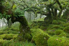Wistman's Wood in Dartmoor, England