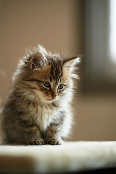 Cute Cats and Kittens Cute Cats And Kittens, I Love Cats, Crazy Cats, Kittens Cutest, Fluffy Kittens, Fluffy Cat, Pretty Cats, Beautiful Cats, Animals Beautiful