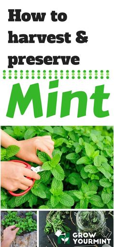 How To Harvest Mint Without Too Much Effort #garden#gardening#growyourmint.com