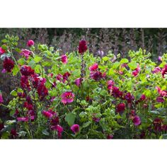 I have just purchased Antirrhinum and Malope Collection from Sarah Raven - http://www.sarahraven.com/flowers/plants/cut_flower_seedlings/antirrhinum_and_malope_collection.htm