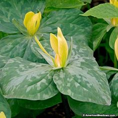 Scientific name: Trillium luteum Common name: Wood lily  Zone: 4 Height: 1'-1.5' Spread: 1'-1.5