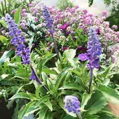 Salvia Blue Victoria from #botanicalinterests