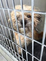 SAFE --- #A475185 Release date 11/6 I am a female, tan and gray Shih Tzu mix. Shelter staff think I am about 7 months old. I have been at the shelter since Oct 30, 2014.  If I am not claimed, after my stray holding period, I may be available for adoption on Nov 06, 2014. ...  City of San Bernardino Animal Control-Shelter. https://www.facebook.com/photo.php?fbid=10203855943536583&set=a.10203202186593068&type=3&theater