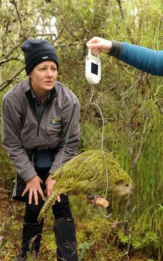 Doc ranger Liz Whitwell reads the weight of a kakapo chick on Codfish Island. Photo by Stephen Jaquiery.