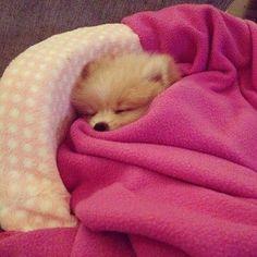 Pomeranian snoozer