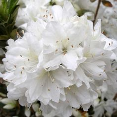 Azaleas are well-suited to growing under pine trees.