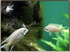 Brichardi Cichlid Fish Pictures