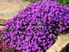 Żagwin 'Blaumeise' (Aubrieta hybrida) Nature, Plants, Outdoor Decor, Outdoor