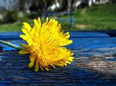 Sárga és kék :) Dandelion, Flowers, Plants, Dandelions, Plant, Taraxacum Officinale, Royal Icing Flowers, Flower, Florals