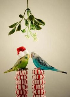 PetsLady's Pick: Cute Mistletoe Budgies Of The Day...see more at PetsLady.com -The FUN site for Animal Lovers