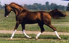 All Anglos - Breeders of National Champion Arabian and Anglo Arabian sporthorses - Ohadi Ben Rabba