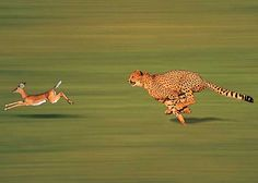 The Balance of Nature Wild Animals Pictures, Funny Animal Pictures, Funny Animals, Cute Animals, Big Cats, Cute Cats, Jaguar, Animal Attack, Cheetahs