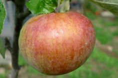 Irish Peach apple trees are a very early cropping eating apple breed.The flesh is white and firm with an excellent blend of sweet and tangy flavours - one of the best early season apples.  Pick your fruit in Mid August and eat them up quickly - they don't store well.