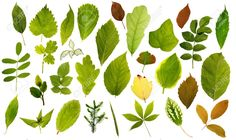 8183361-Big-collection-of-different-leafs-on-white-Stock-Photo.jpg (1300×772)