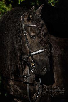 Friese, Pferd, schwarz, Mähne                              …