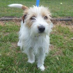 Mako - Wirehaired Jack Russell Terrier
