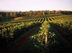 My fave - Piedmont Vineyard, Middleburg Barboursville Vineyard, Grape Vineyard, Travel Deals, Weekend Trips, Wine Country, Virginia, Summertime, Tours, Vacation