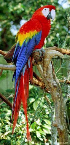 "Mug shot for Craig Buckner and his macaw, ""Bird. – A macaw named ""Bird"" is an instant Tropical Birds, Exotic Birds, Colorful Birds, Pretty Birds, Beautiful Birds, Animals Beautiful, Animals And Pets, Cute Animals, Parrot Bird"