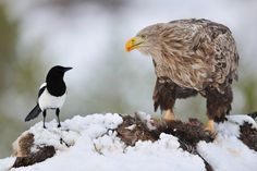 (via 500px / Eye Contact by Yves Adams) *Magpie and White-Tailed Eagle