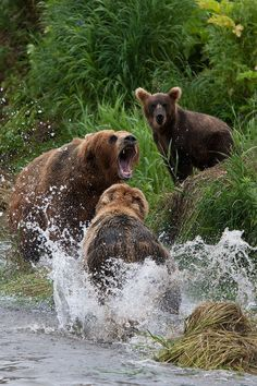 Just a couple Grizzlies arguing  over fishing spots... .