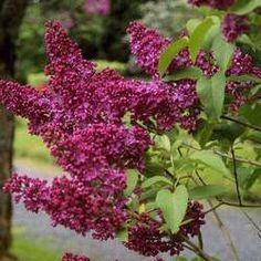 Lilas pourpre 'Charles Joly'