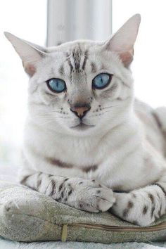 White Bangle cat #SavannahCat
