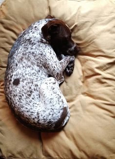 My pup had a sick tummy today, which in no way makes this any less adorable. #gsp #dog