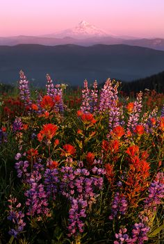 Hill with a view - These are flowers and that is Mt Hood! By Henrik Anker Bjerregaard Lundh iii. Nature Aesthetic, Flower Aesthetic, Aesthetic Photo, Photo Wall Collage, Picture Wall, Aesthetic Iphone Wallpaper, Aesthetic Wallpapers, Aesthetic Pictures, Pretty Pictures