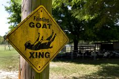 one day I will have an army of fainting goats