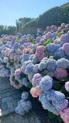 Hortensia Hydrangea, Hydrangea Bloom, Hydrangea Garden, Hydrangeas, Beautiful Flowers Pictures, Flower Pictures, Pretty Flowers, Blue Flowers, Coastal Gardens