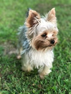 Yorkshire Terriers, Yorkies, Animals And Pets, Dog Cat, Portraits, Cats, Beautiful, Cutest Animals, Pets