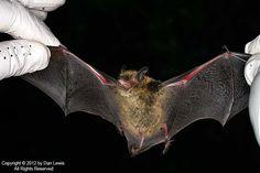 My favorite bat..little brown myotis. Google Image Result for http://wyomingnaturalist.com/images/mammals/M_BAT_Little_Brown_Bat_55.jpg