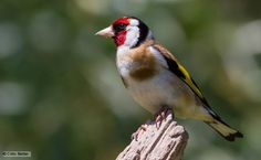 Goldfinch perched on a tree stump