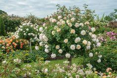 Crocus Rose Tree Rose - David Austin English Rose