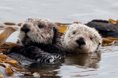 Sea Otter, mother with pup