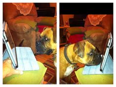 """Boxer """"Charlie"""" Face timing with our son James who is in the AirForce.  They miss each other."""