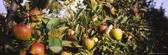 Close-Up of Apple Trees in an Orchard, Weinsberg, Heilbronn, Stuttgart, Baden-Wurttemberg, Germany