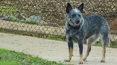 """Why fit in when you were born to stand out?""  Dr. Seuss  #ElsieMae #acd #quote #heeler #heelergram #heelerclub #dogpark #SundayFunday #tuscaloosa #Alabama #dogscorner #itsadogslife #dogstagram #dogsofinstagram #dogsofinstaworld #barkpost #bestwoof #topdogphoto #excellent_dogs #ilovemydog #doggy #blueheeler #Nikon #nikonphotography #amatuerphotography #lacyandpaws #everythingdoggies by elsiemae_the_acd"