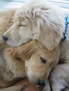 Snuggles #goldenretriever