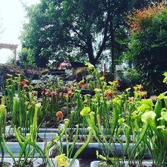 Sarracenia #carnivorousplantsofinstagram #pitcherplant #californiacarnivores #carnivorousplants #sarracenia #pnw by christina61086