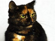 Matilda is an adoptable Tortoiseshell Cat in Indianapolis, IN.  Take a look at this gorgeous face! Matilda is a young kitty and seeks a home where she can stretch and be pet. Can you resist this face?...