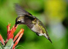 Os beija-flores podem voar para trás. Eles são os únicos animais conhecidos que podem fazer isso. | 22 fatos que provam que o mundo é mais estranho do que você imagina