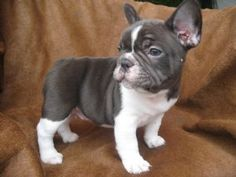 french bulldog. My own place = this little new addition will be happening.
