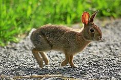 A young New England Cottontail rabbit explores.