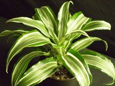 """Dracaena deremensis 'Warneckei,' 'Ulises,' 'Jumbo,' 'Bausei,' 'Skunky' """"don't overwater, don't let fluoride build up in the soil, don't get it too hot or too cold"""""""