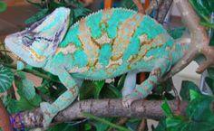 Veiled chameleon- looks like mine! Terrarium Plants, Glass Terrarium, Veiled Chameleon, Reptiles And Amphibians, Animal Wallpaper, Chameleons, Animals, Geckos, Wikimedia Commons