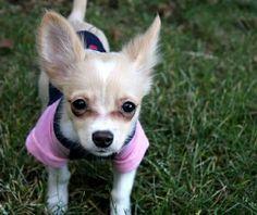 Chihuahua  Cariño